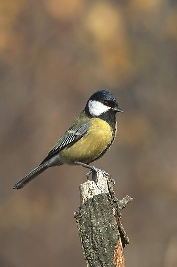 Parus_major_3_(Marek_Szczepanek)