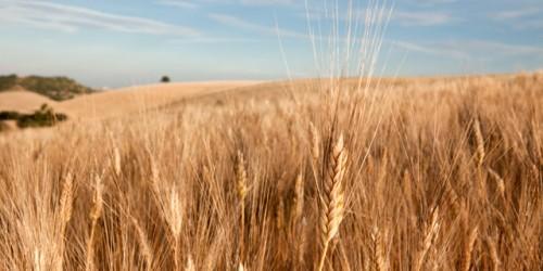 Il glutine nel grano antico Nerisi: va bene per gli intolleranti?